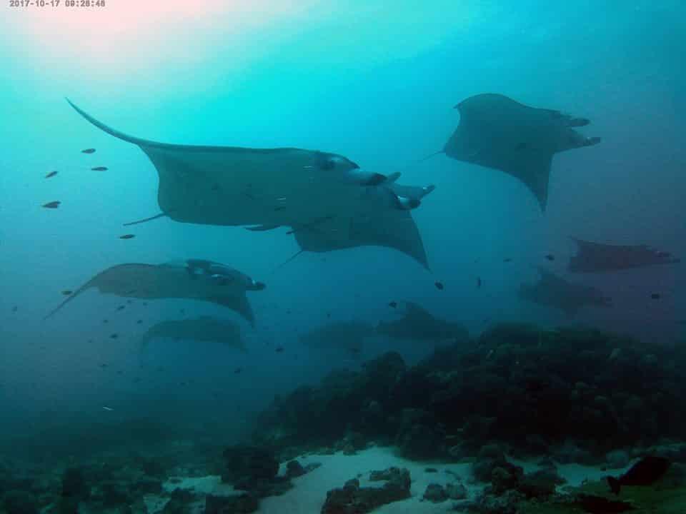 Super plongée avec des raies manta en croisière plongée avec OK Maldives