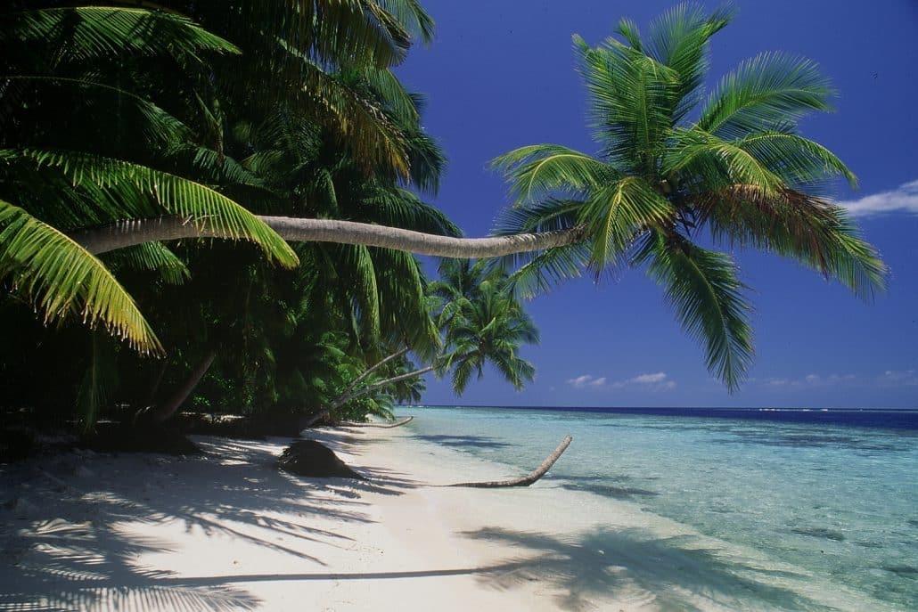 cocotier penché en croisière plongée avec OK Maldives