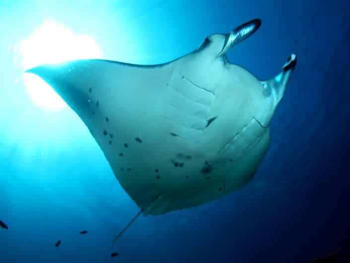Une raie manta vue de dessous en croisière plongée avec OK Maldives