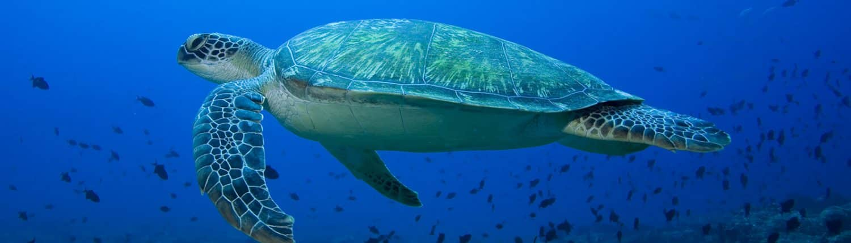 Grosse tortue verte en croisière plongée avec OK Maldives