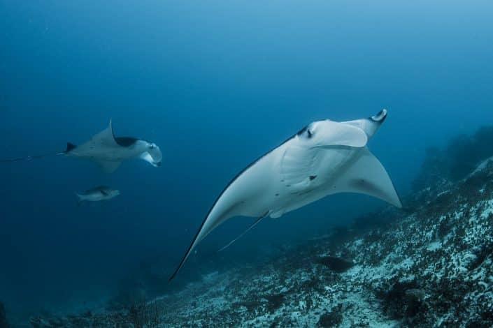 Raies Mantaen croisière plongée avec OK Maldives