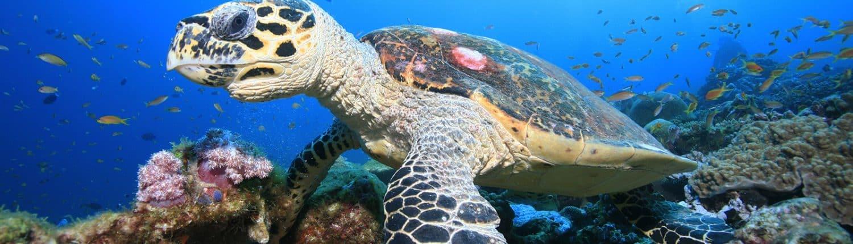 Tortue imbriqué en croisière plongée avec OK Maldives
