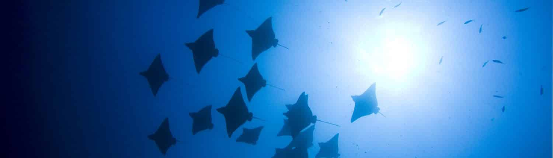 Vol de raies aigles en croisière plongée avec OK Maldives