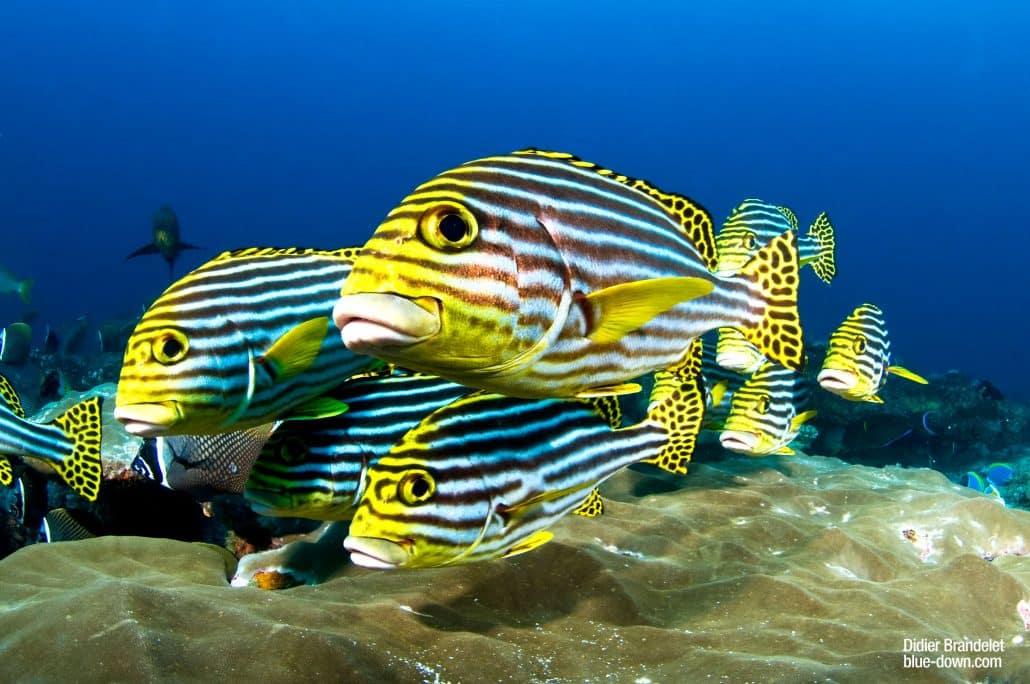 des beaux gaterins en croisière plongée avec OK Maldives