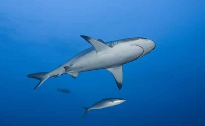 Requin gris en croisière plongée avec OK Maldives