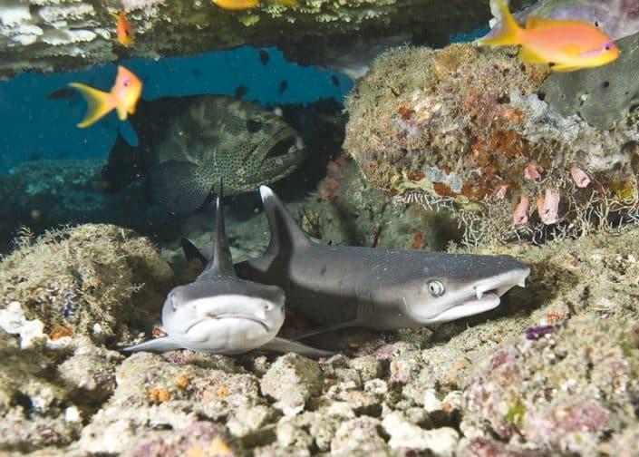 Jeunes pointes blanches en croisière plongée avec OK Maldives
