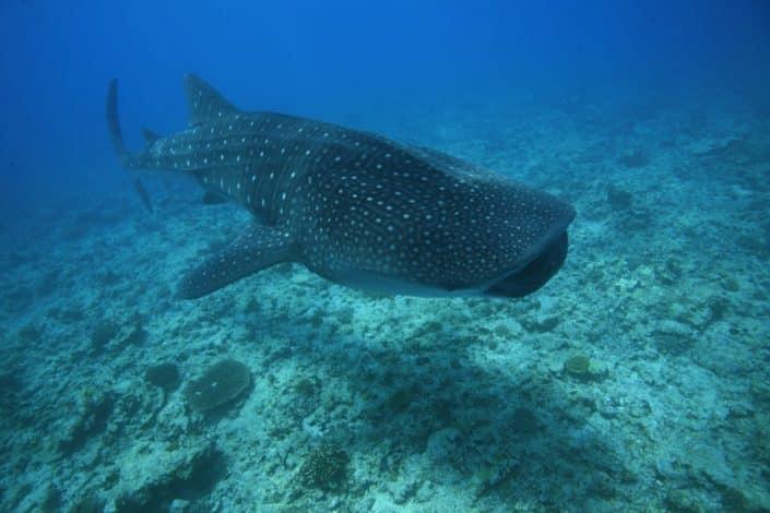Requin baleine en plongée en croisière plongée avec OK Maldives