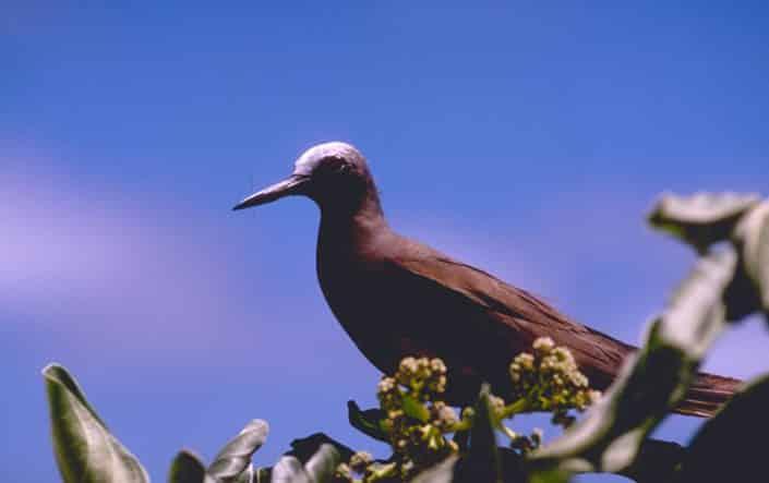 Oiseau en croisière plongée avec OK Maldives