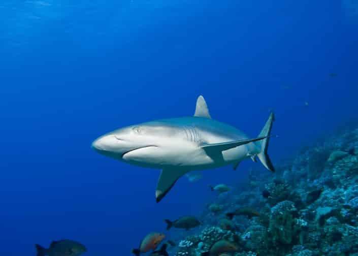 Requin gris dans une passe en croisière plongée avec OK Maldives