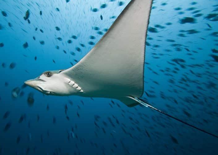 Raie aigle en croisière plongée avec OK Maldives