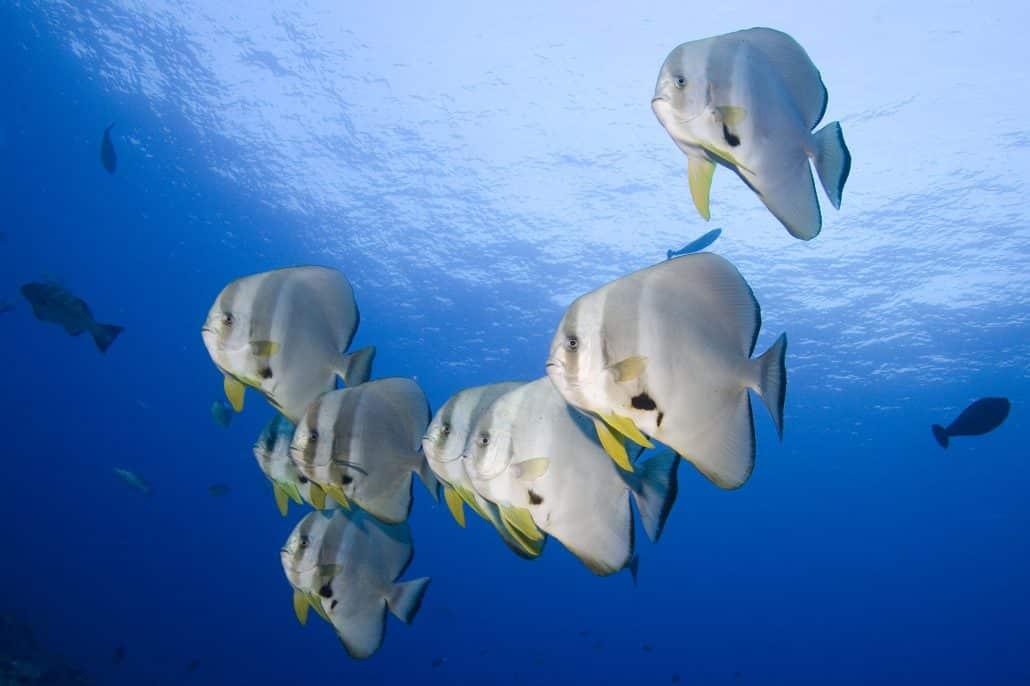 Banc de platax en croisière plongée avec OK Maldives