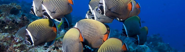 Poissons papillons en croisière plongée avec OK Maldives
