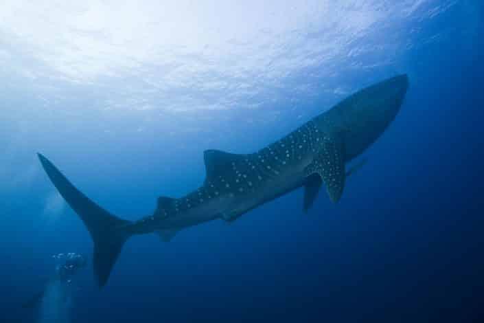 Requin baleine en croisière plongée avec OK Maldives