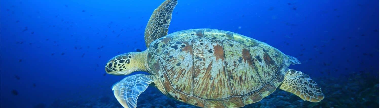 belle tortue verte en croisière plongée avec OK Maldives